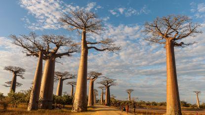 Duizend jaar oude baobabs sneuvelen door klimaatopwarming