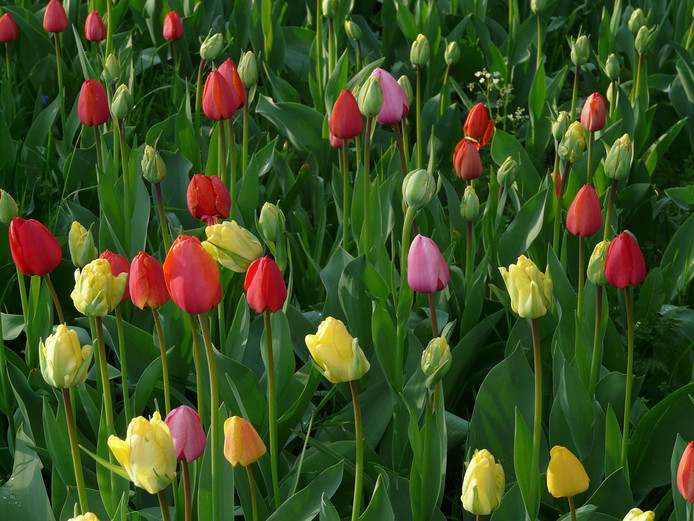 Tulpen in bloei. Foto: Creative Commons