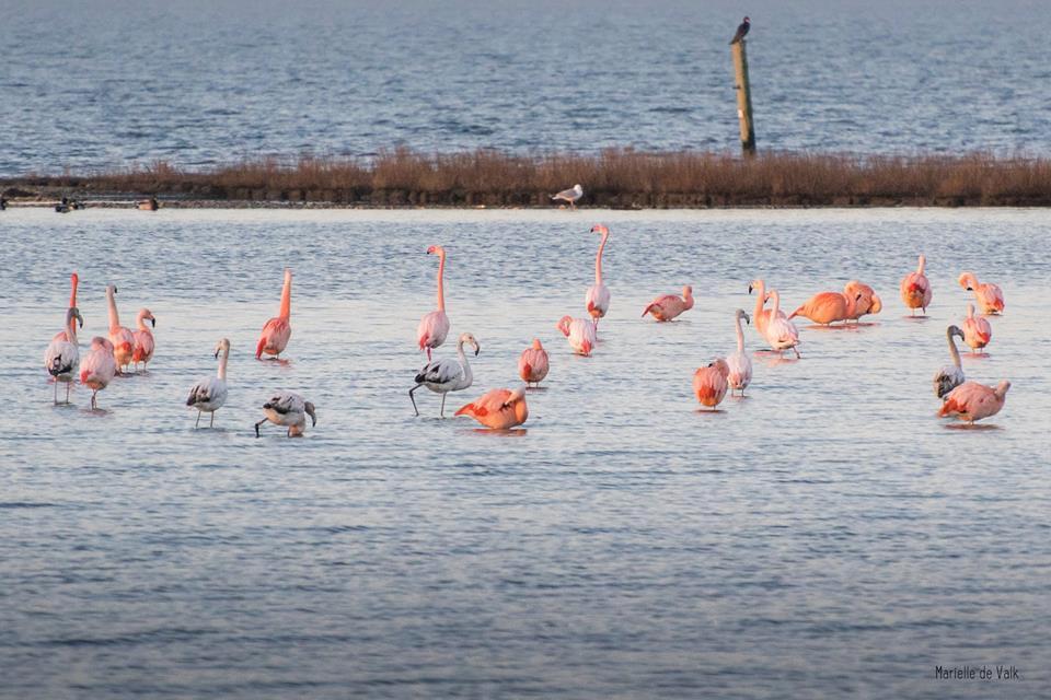 Flamingo's zijn vaker te zien in Nederland, zoals hier in het Grevenlingenmeer nabij Battenoord. Mariëlle de Valk uit Gorinchem fotografeerde ze in februari van dit jaar.