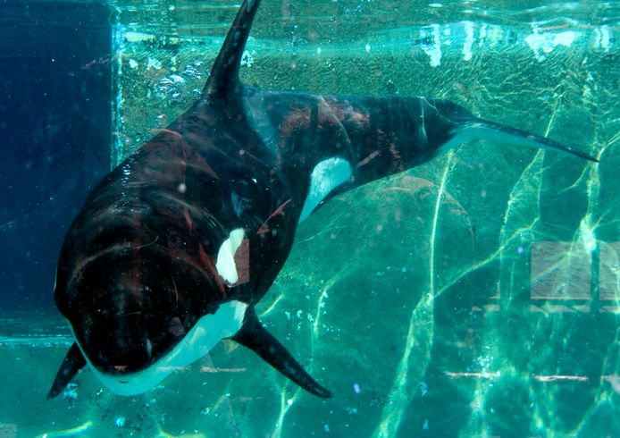 Archieffoto: orka Morgan in het separatiebassin van Dolfinarium Harderwijk in 2010.