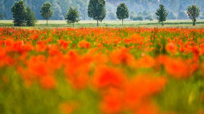 Zo mooi kan de natuur zijn: Bloemenpracht betovert Oudeheerweg-Ruiter