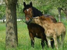 Le suspect arrêté dans la mystérieuse affaire des chevaux mutilés a été mis hors de cause