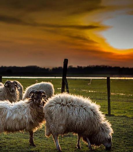 Onderzoek schapendiefstal Ammerzoden 'rammelt aan alle kanten'
