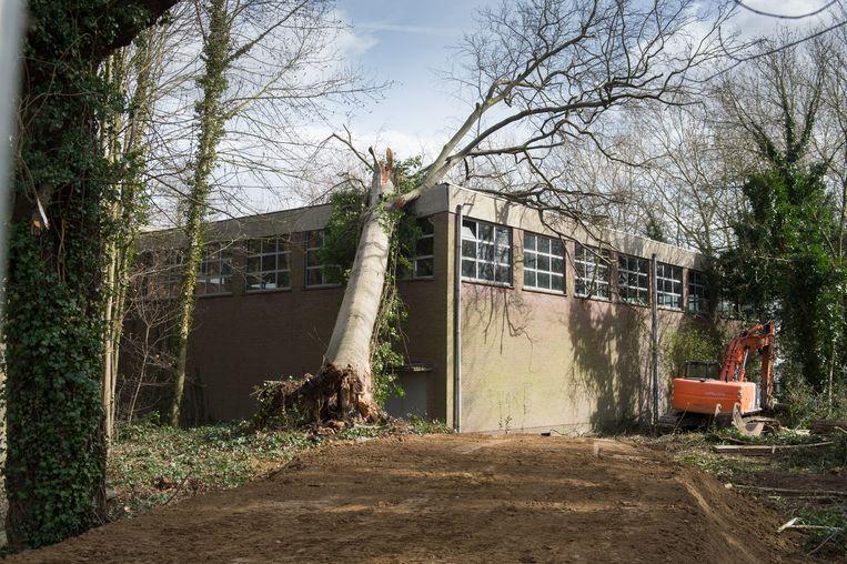 Beuk Verwijderen Is Moeilijke Klus Mechelen In De Buurt