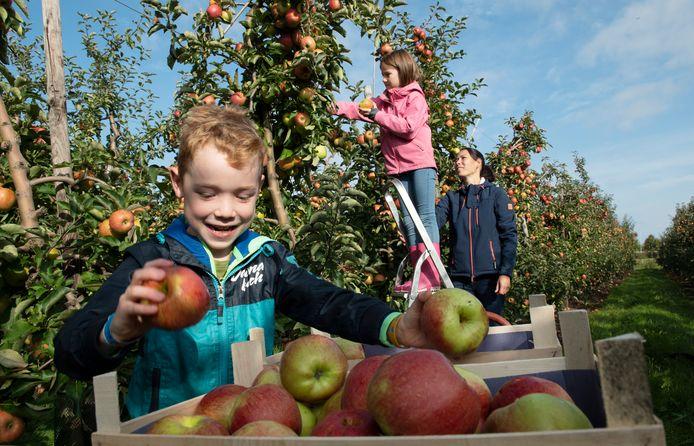 De familie Hoppener uit Tiel is aan het appels plukken in de boomgaard.
