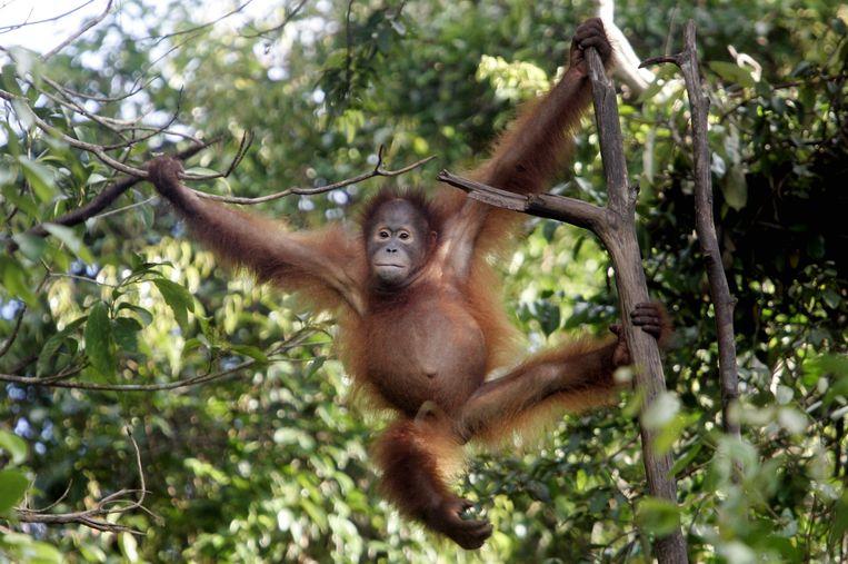 Het aantal orang-oetans daalt snel.  Beeld