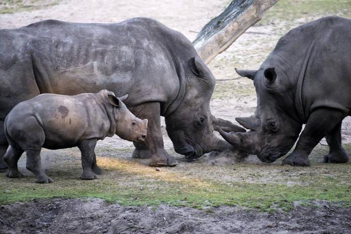 Vader Gilou (rechts) in directe confrontatie met moeder Kwanzaa. Kleine Thomas kijkt geïnteresseerd toe.