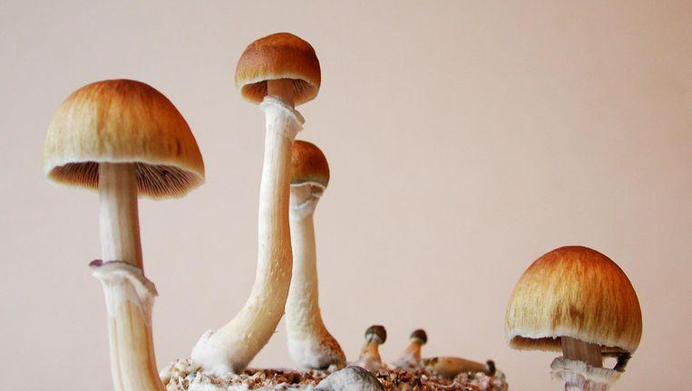 Een hallucinogene paddenstoel. Beeld Theo Audenaerd