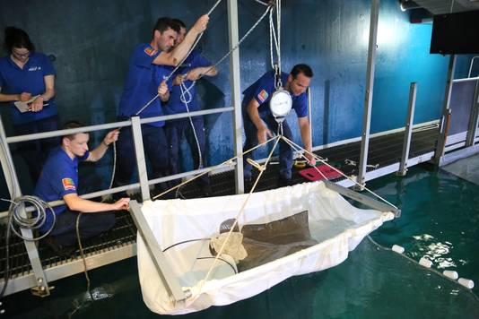 Een pasgeboren gevlekte adelaarsrog wordt uit het water gevist door dierverzorgers van Burgers' Zoo.