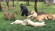 Luipaard 'valt trainer aan', maar hij krijgt redding uit onverwachte hoek