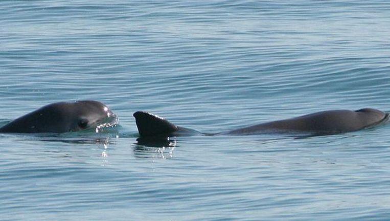Een van de weinige Californische bruinvissen kon op beeld worden vastgelegd.