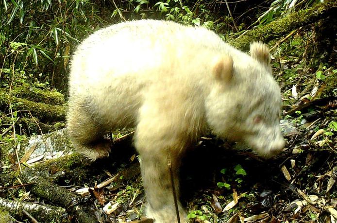 Albino panda