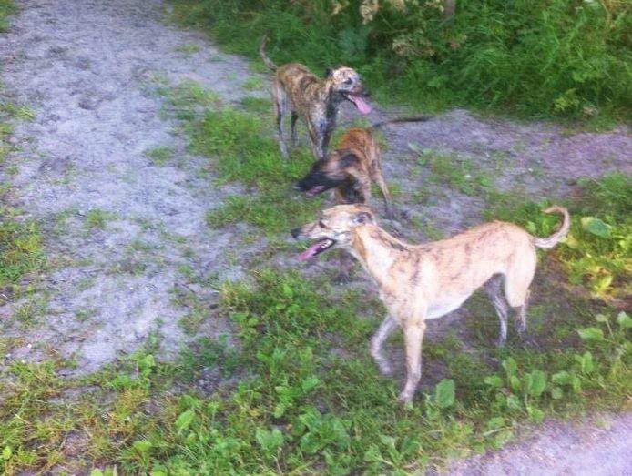 De drie honden van Ron van Pelt, één van hen overleefde het niet.