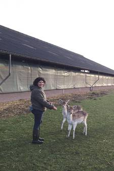 Hertjes tijdens storm uit de wei in Beek en Donk ontsnapt