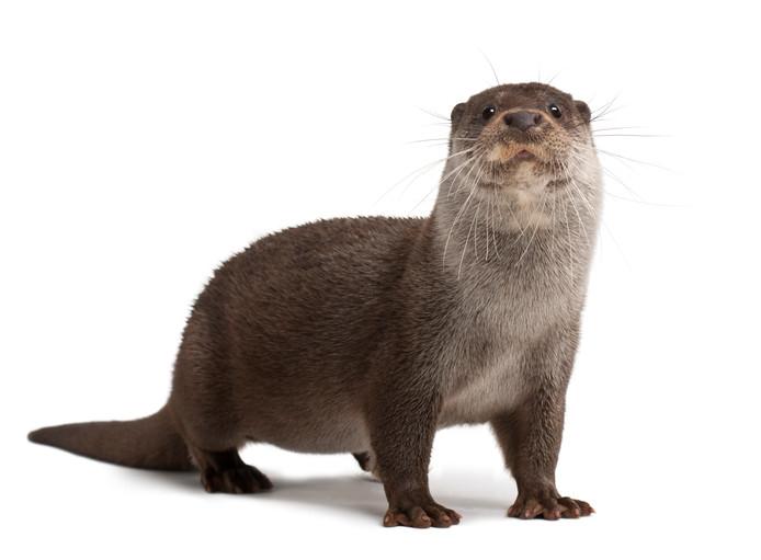 Een zesjarige Europese otter, archieffoto.