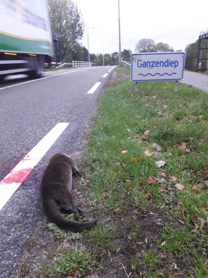 Boswachter Egbert Beens trof dinsdagochtend een dode otter aan op de N765 bij de sluis bij het Ganzendiep.