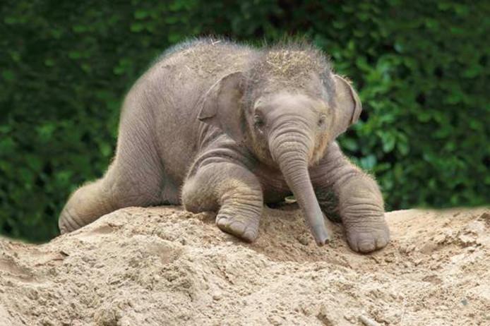 De Aziatische olifant Indra is in verwachting van een 'reus', oftewel een jong olifantje.'