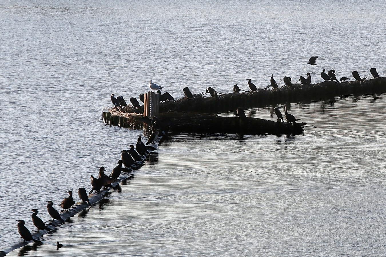 Ook de aalscholvers vinden het prima toeven in Kedichem.