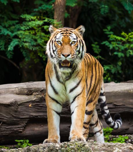 86 tijgers uit Thaise tempel dood door ziekte
