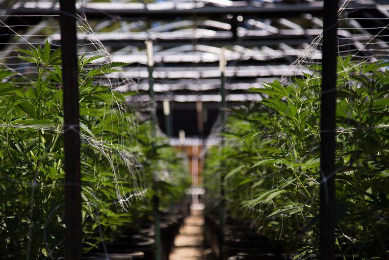 In Avelgem konden twee cannabisplantages opgerold worden.