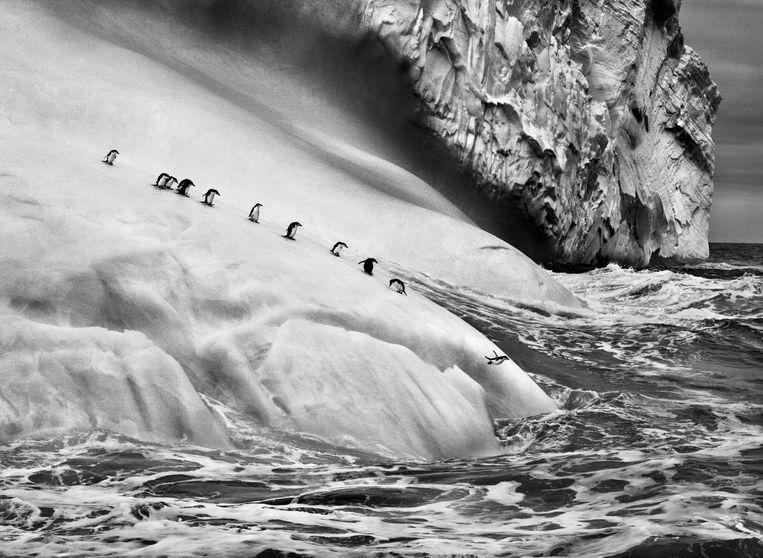 Stormbandpinguïns op een ijsschots op de Zuidelijke Sandwicheilanden. Beeld Photographs by Sebastião SALGADO / Amazonas images