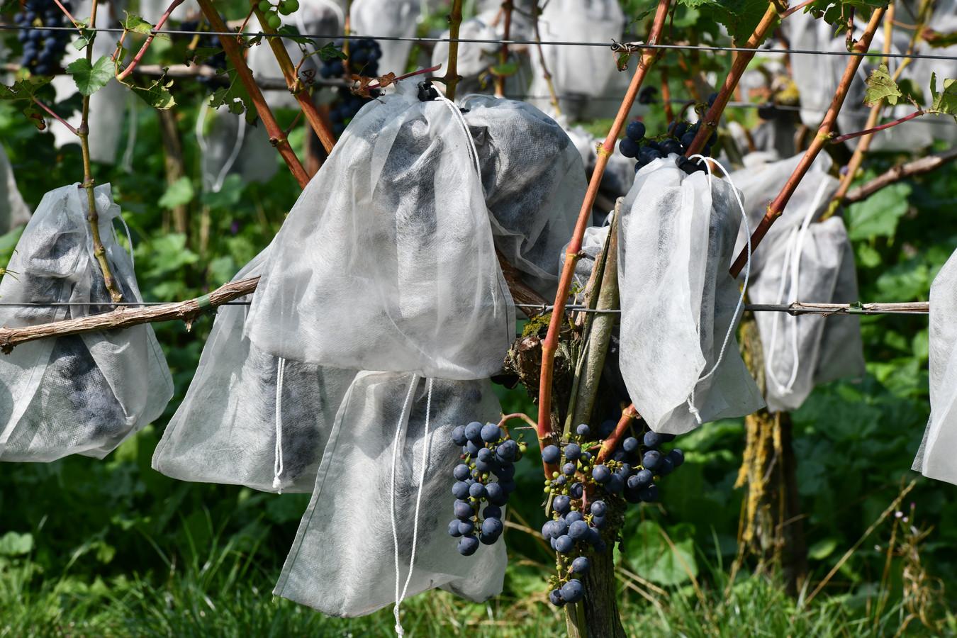 Het Betuws Wijndomein is één van de wijngaarden in Rivierenland.