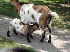 Wie verzint naam voor Vianense geitjes?