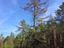 Lariksbastkever velt bijna duizend bomen Loenermark en Bruggelen