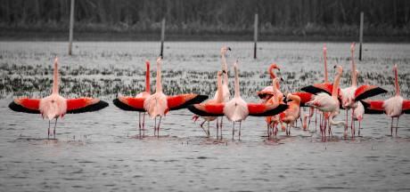 Geen flamingo's meer in Zwillbrocker Venn: 'Het is te droog'