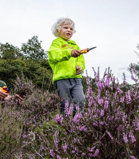Heide is weer diep paars gekleurd
