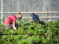 Nog geen tekort aan fruitplukkers en aspergestekers in de regio; horecakrachten en ZZP'ers melden zich massaal aan