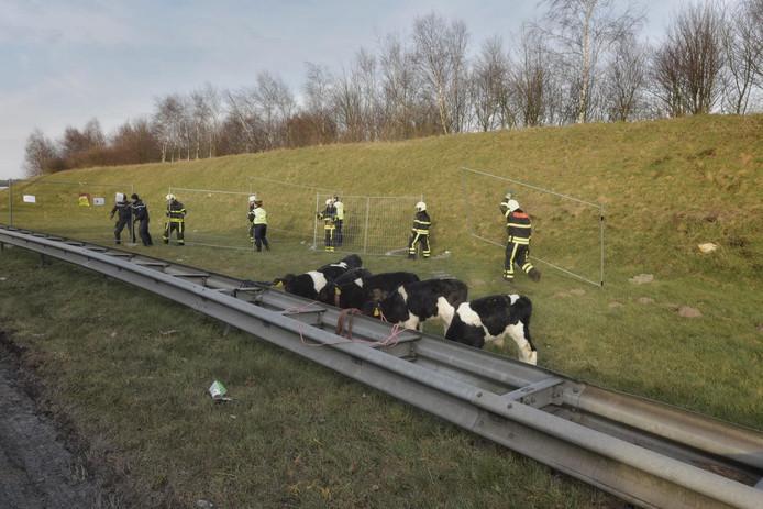 Ontsnapte kalveren op de A16 tijdelijk vastgebonden aan de vangrail om ontsnapping te voorkomen.