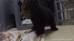 Schattige berenwelpjes gered nadat mama werd aangereden door auto