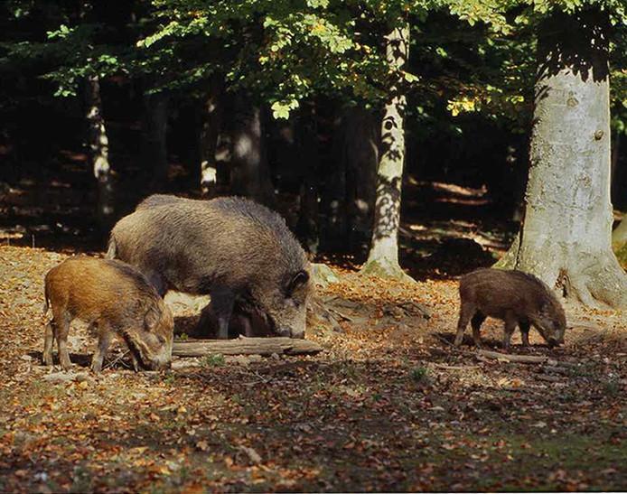Wild zwijn met jongen. foto Otto Faulhaber