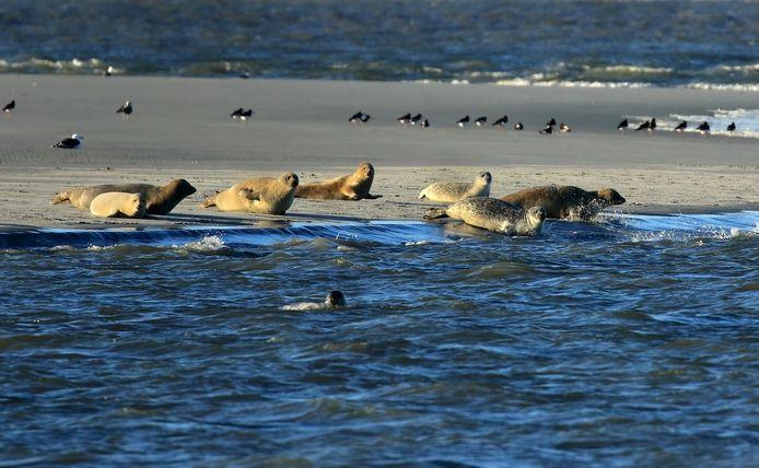 Tijdens eb kruipen zeehonden in de Voordelta op droog vallende zandplaten.