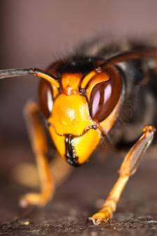 Hoornaar duikt ook elders in Dreischor op