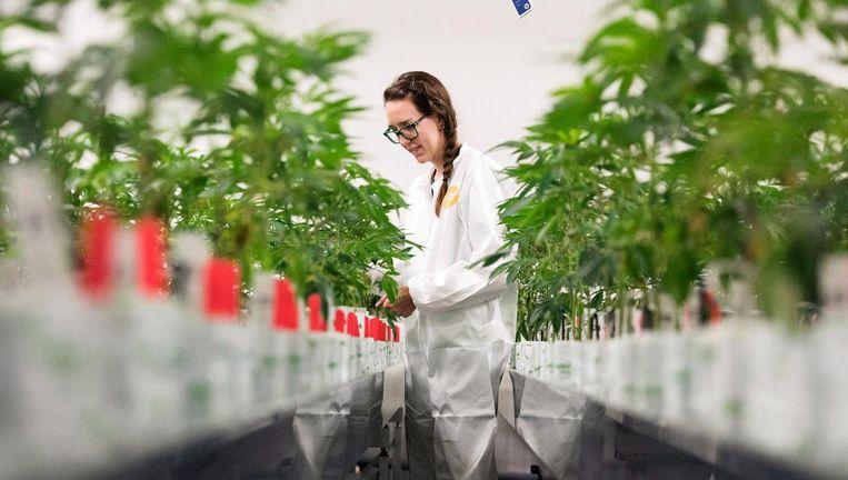 Een productiemanager van Bedrocan checkt de medische marihuanaplanten Beeld Hollandse Hoogte