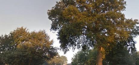 Vijf oude zomereiken de klos bij aanpak Rijksweg in Schaijk en Reek