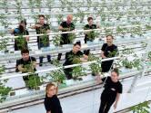 Oproep tomatenkweker in Dinteloord: 'Omarm de arbeidsmigranten, ze zijn hard nodig'