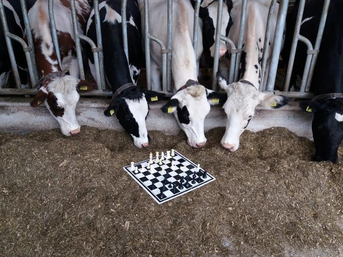 Schaken tussen de koeien.