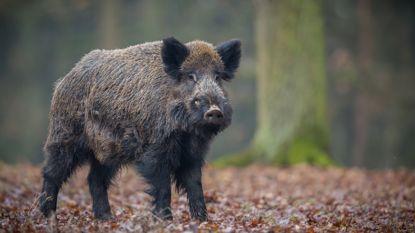 Opnieuw gewonde bij aanrijding met everzwijn in Diepenbeek