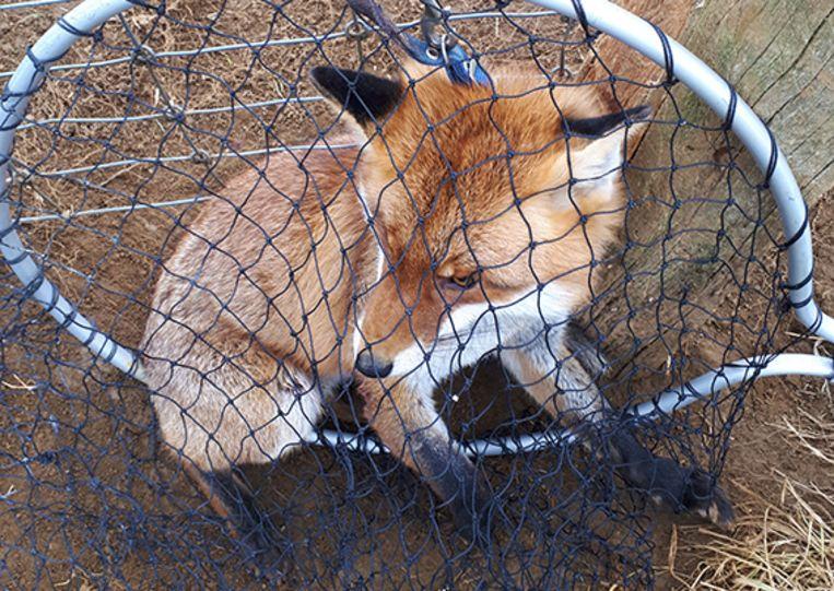 De vos werd door zijn 'baasje' gedumpt en vastgemaakt aan een omheining.