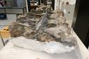 Wervels van de langnekdino zijn al deels bloot gelegd in het Oertijdmuseum in Boxtel. Maar er staan nog dozen vol te bewerken botten in de stelling. Genoeg werk voor een paar jaar.