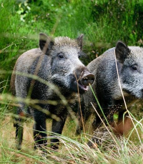 Extra jacht op wilde zwijnen uit angst voor Afrikaanse varkenspest