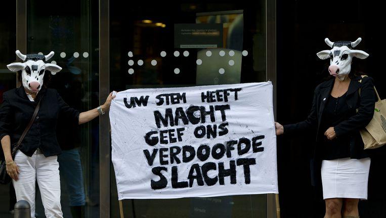 Voor de deur van de Tweede Kamer in Den Haag betogen twee als koe verklede dames voor het voorstel van de Partij voor de Dieren (PvdD) om een einde te maken aan het onverdoofd ritueel slachten. (Archief, 2011) Beeld ANP