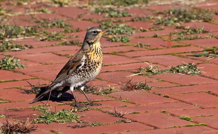 Kramsvogels zijn overal in het land te vinden. Het is een uit de kluiten gewassen lijsterachtige.