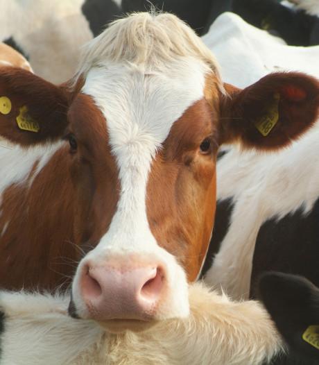 Brabantse melkveehouders bang voor explosies in nieuwe, emissiearme stallen
