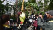 Het stonk weer in de Nationale Plantentuin: 2 meter hoge reuzenaronskelk in bloei