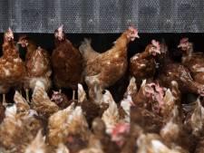 FNV heeft ernstige zorgen over besmettingsgevaar in kippenslachterijen in het Noorden