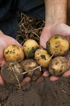 Boeren in Oirschot en Wintelre: Kleine aardbei en korte frietjes door extreem weer